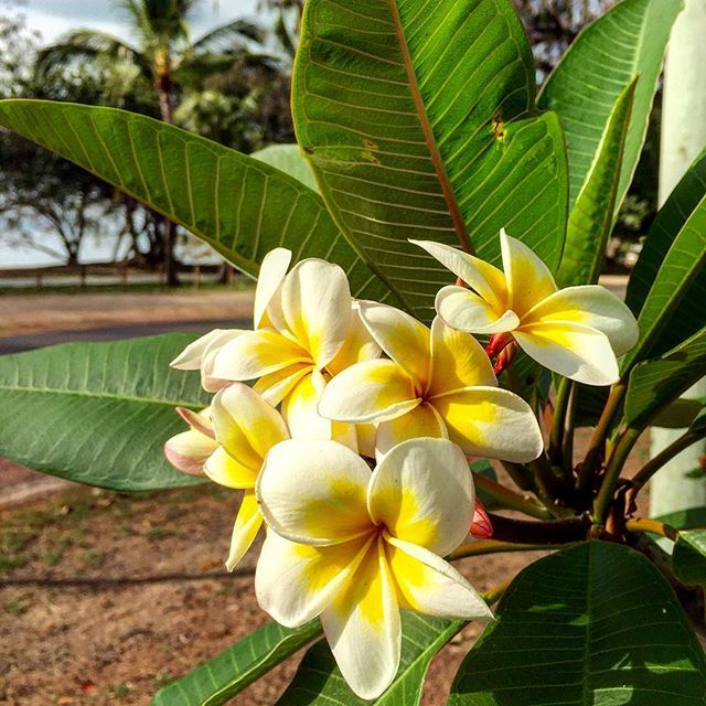 The smells of summer = mangoes, cherries and frangipani! #thisisqueensland by @coconutjenn