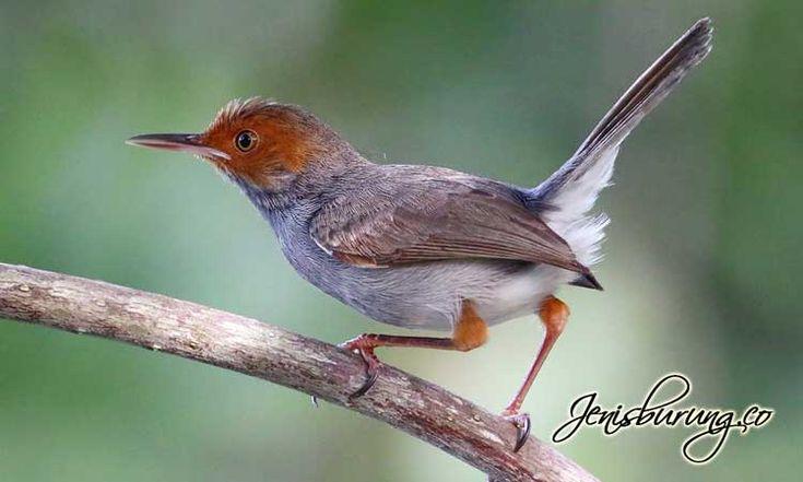 Cinenen Kelabu Ashy Tailorbird Orthotomus Ruficeps Di 2021 Burung Jenis