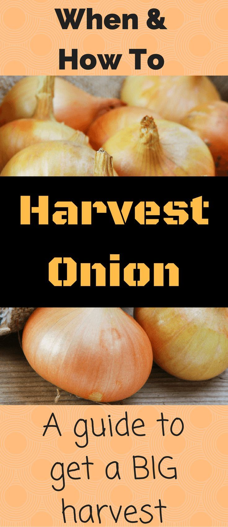 When and how to harvest onions is a vital question for every gardener who wishes to have homegrown onions. I have answered that question, and here it is.