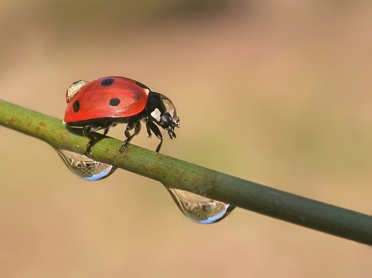 Herrgottskäfer Himmugüegeli Insekt Insekten Käfer Makro Marienkäfer nass PMK Siebenpunkt tropfen