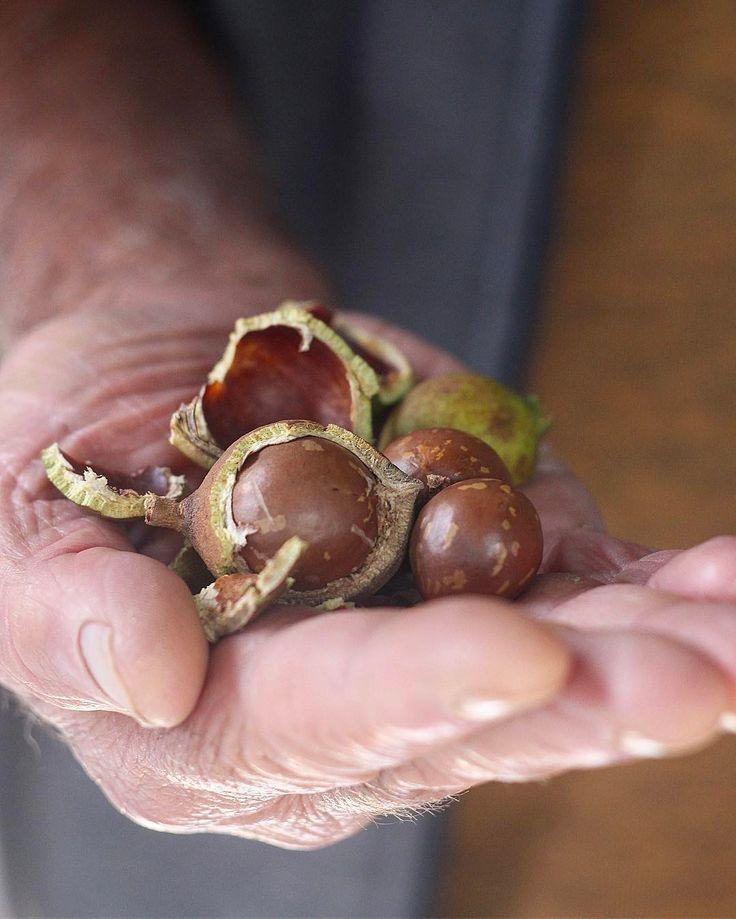 """Macadâmias direto do pé: há alguns anos, meu avô e eu plantamos uma árvore de macadâmia juntos. Essa semana fui visitar meus avós e vi algo diferente perto da fruteira. Perguntei o que era e meu avô respondeu: """"as 3 primeiras castanhas que colhi da nossa árvore"""". Vocês não imaginam como fiquei feliz! Eu conhecia a macadâmia na casca, mas nunca tinha visto o fruto com o carpelo e tudo. Foi uma surpresa boa demais 😊. Agora aguardar para que renda muito mais frutos ❤️. Bom feriado a todos! PS…"""