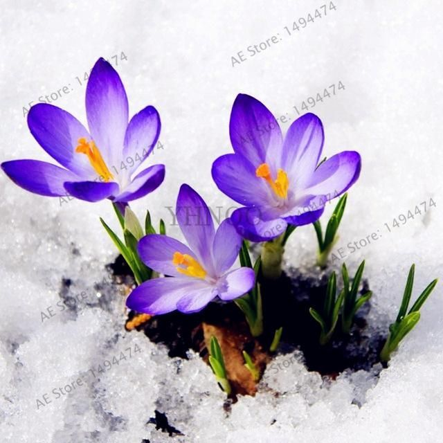 100pcs/bag saffron seeds crocus seed bonsai plants flower seeds for home garden supplies easy grow