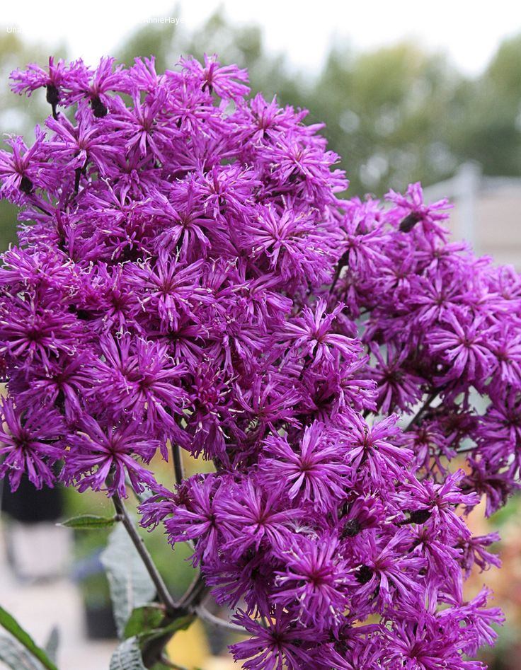 Vernonia gigantea - tall vigorous native, wildlife love it.