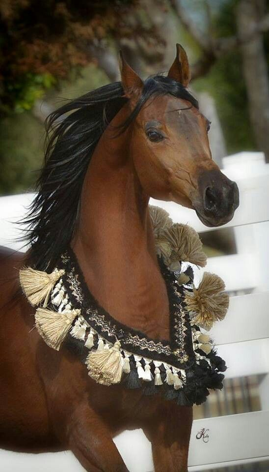Beautiful Arabian Horse