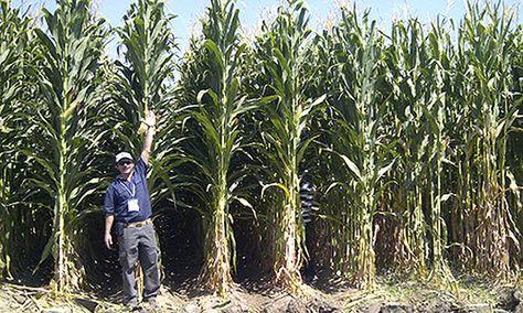 Pregon Agropecuario :: RADIOGRAFÍA DEL MAÍZ EN LOS ESTADOS UNIDOS - Cereales - Maíz