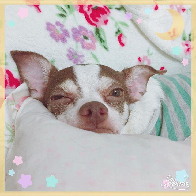 #ぐうたら #ロミオ ・ ・ #男の子 #保護犬 #チワワ #チワワミックス #ちわわ #chihuahua #みっくす #ミックス犬 #多頭飼い #わんちゃん #犬 #いぬ #わんこ #dog #愛犬 #かわいい #動物大好き #犬と暮らす #犬好き