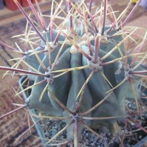 Ferocactus emoryi subsp. rectispinus