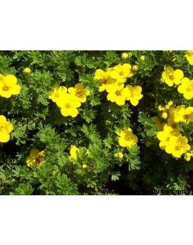 Potentilla fruticosa 'Goldfinger' - Élénksárga virágú pimpó