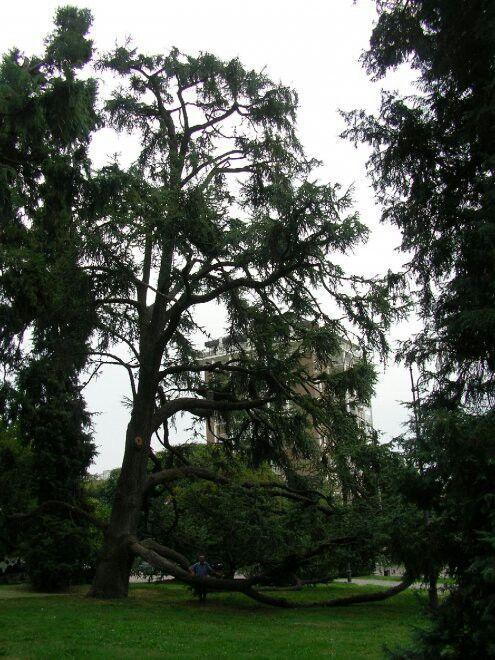 Cedro di Biella