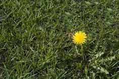 Dandelion Removal: How To Kill Dandelions