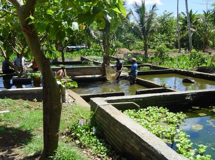 Samoa ponds and westerns on pinterest for Raising tilapia in a pool