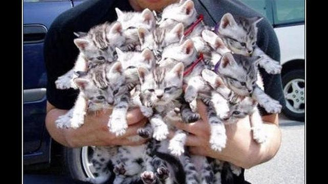 Koty mają po pięć palców u każdej z przednich łap, ale u tylnych tylko pocztery.