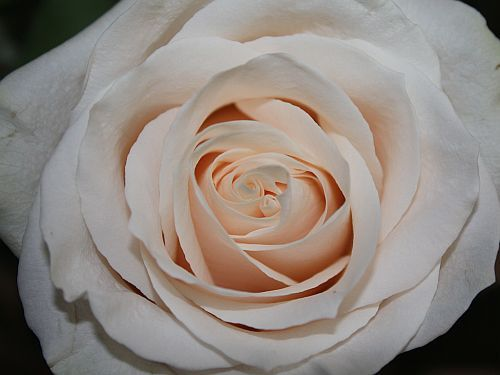 Milky way rose