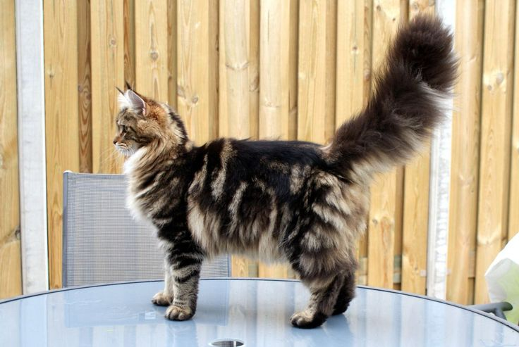 Maine Coon, black tabby blotched (d 22). Jeany Lee by Keracoon