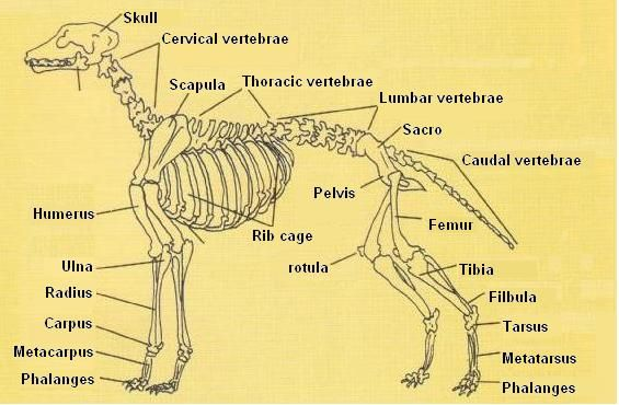 picture of dog skeleton diagram