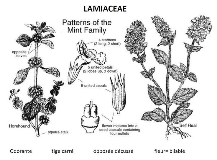 Les Lamiaceae ou Labiatae sont une importante famille de plantes dicotylédones qui comprend environ 6 000 espèces et près de 210 genres. La famille des Dicrastylidiaceae y est incorporée par la classification phylogénétique. Wikipédia Rang : Famille Classification : Lamiales Sous-ordres : Perovskia, Brunelle, Phlomis, Cedronella,