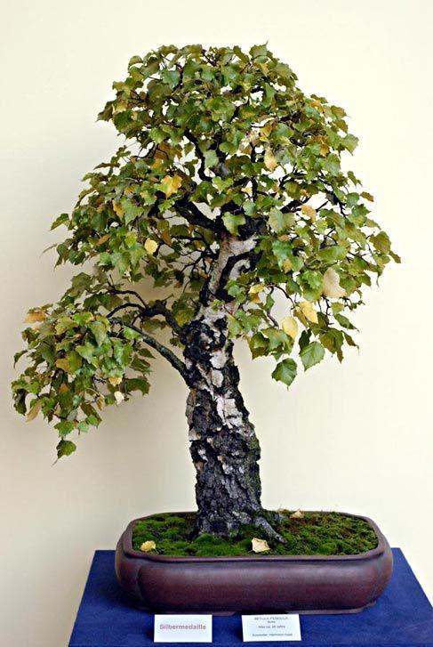 Die besten 25+ Bonsai baum Ideen auf Pinterest | Bonsai baum arten ...