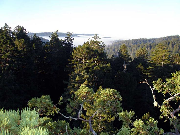Sequoia Sempervirens, Photo: Steve Sillett, Institute for Redwood Ecology, Humboldt State University