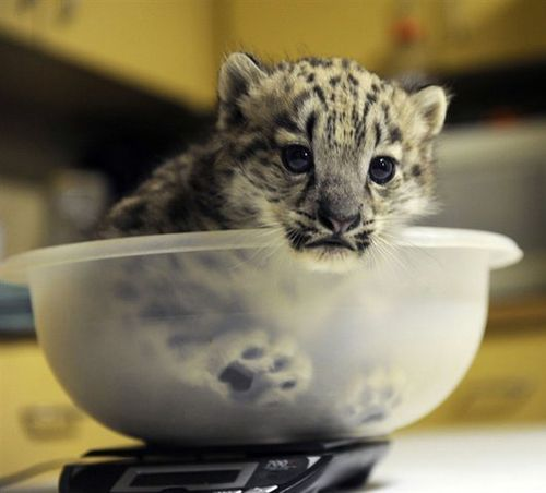 Hello. I am a baby snow leopard inside a bowl.