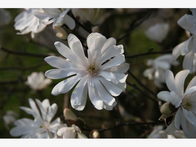 Die besten 25+ Tulpen magnolie Ideen auf Pinterest Magnolien