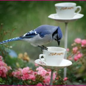 """""""Bluejay having tea in rose garden"""" ...should be fairly easy to make your own teacup birdfeeders-!"""