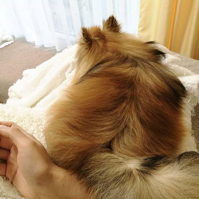 再び…🙄 . まさかまたこうなるなんて…。 . あのあとしばらくして起きられたしずく様🐕 . 無事に洗濯物を干して、しーちゃんお風呂に入れて2回目の洗濯物洗い終わった . . 今度はお尻を支えてるよ! . お出かけまでに果たして終わるのか😇😵😴 . . . #ぐーたら主婦 #ポメラニアン#ポメラニアン大好き#ポメラニアン部#犬のいる暮らし  #わんこなしでは生きていけません会#わんこ#可愛い#我が家のアイドル#犬#犬バカ部#愛犬#横浜#笑顔#pomeranian #pomeranianworld#dogstagram#japan#pomstagram#cute#dog#instadog#instagood#petstagram#ig_japan#doglover#pecon#inutome#todayswanko