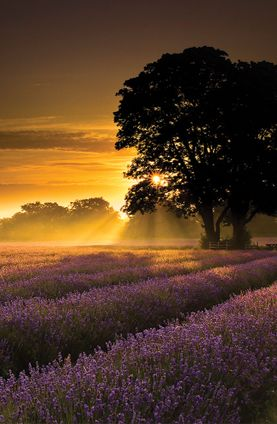 Lavender fields at dusk in Provence, France #GrouponGetaways