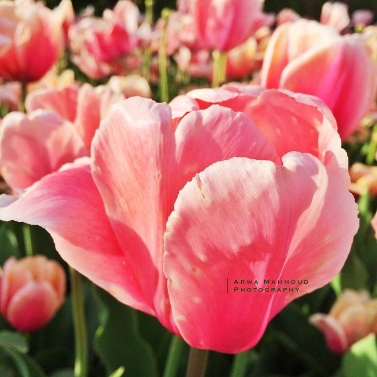 Tulip festival - Ottawa, Canada.. May 2014