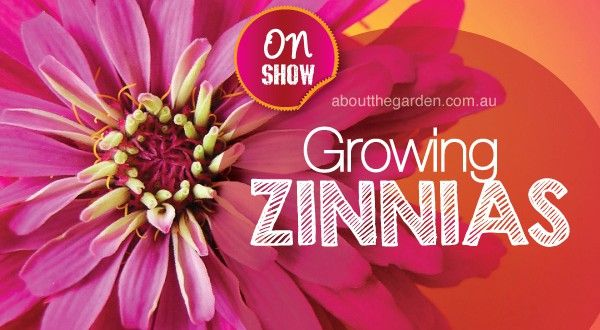 How to grow the best zinnias   About The Garden Magazine