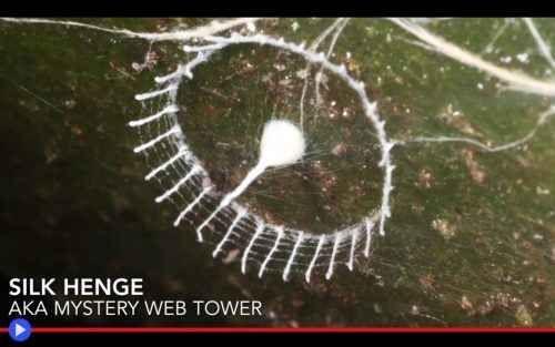 Il cerchio magico del ragno sconosciuto Nel profondo dell'Amazzonia peruviana, Antichi Alieni costruiscono riconoscibili strutture: una recinzione a strati sovrapposti, invalicabile ed appiccicosa, sostenuta da paletti alti e resistenti co #animali #artropodi #ragni #perù