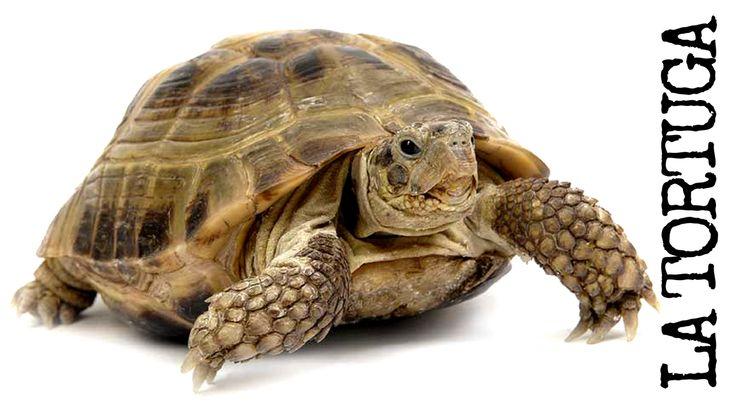 Conocerás aquí a la #tortuga. Perteneciente a la clase de los reptiles, animales de sangre fría que, en la mayoría de los casos, ponen huevos. Te explicamos sus características, tipos, dónde vive, qué come, cuánto vive y cómo cuidarla.