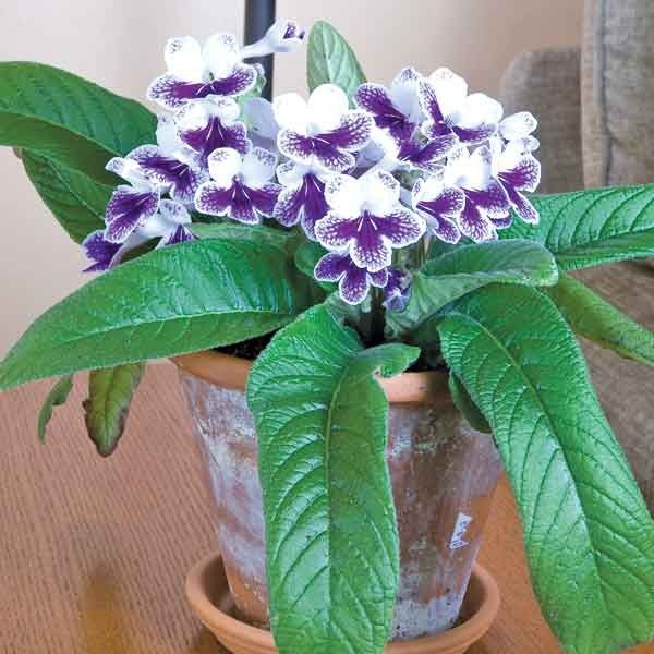 cape primrose purple panda streptocarpus hybrid cape primrose is one of the easiest plants for the indoor or windowsill gardener - Flowering House Plants Purple
