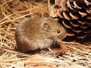 how to get rid of voles in your garden