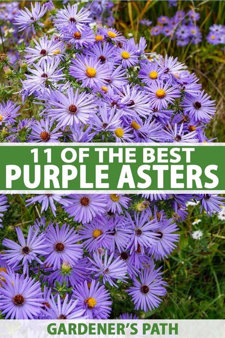 11 Of The Best Purple Asters Gardener S Path In 2020 All About Plants Aster Flower Water Plants