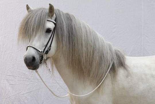 Lindi frá Malborgh NL2001100115 - Islandpferde Gestüt Lindenhof