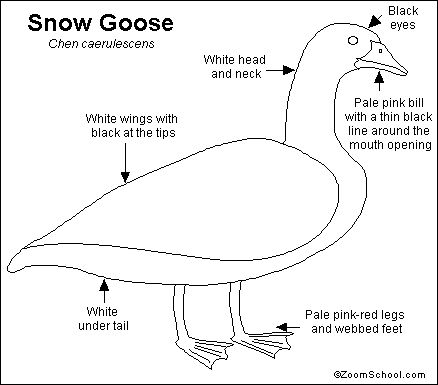 Snow Goose Printout- EnchantedLearning.com