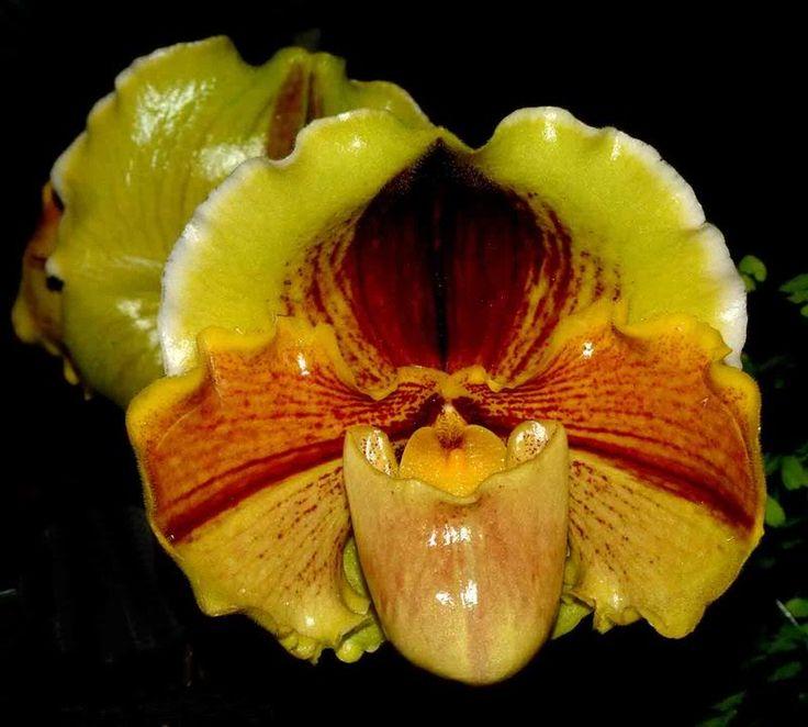 Paph. Wössner Leguan - Page 2 - Slippertalk Orchid Forum- The best slipper…