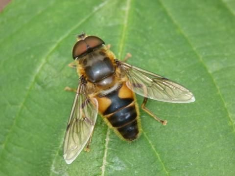 Hoverfly: Eristalis pertinax | Nature Notes from Dorset