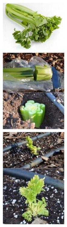 Вырастить сельдерей http://vk.com/wall-52794984_229