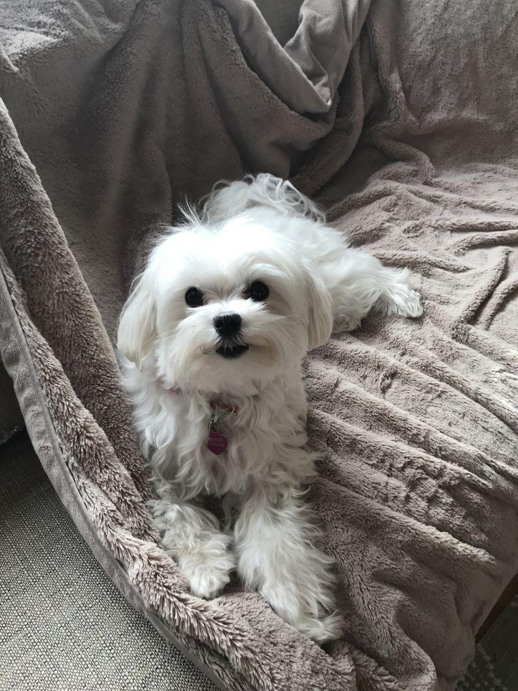 Hello! Maltese dogs, Maltese poodle puppies, Pets rock