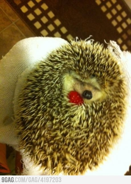 aaww: Animal Pics, Cute Animal, Hedgehogs Cuddling, So Cute, Pet,  Hedgehogs, Adorable, Raspberries, Baby Cat