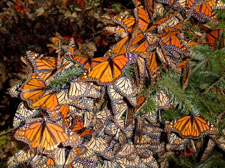 Monarchs spend the freezing nights clustered in mountain fir trees for warmth. The morning sun warms the clusters until the butterflies explode in a swarm of color to spend the day feeding in meadows.