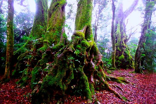 STUNNING ANCIENT ANTARTIC BEECH TREES HERE ON SPRINGBROOK ARE OVER 2000 YEARS OLD! Nothofagus moorei require a uniquely cool temperate rainforest between the altitudes of 500m-1500m. They'll even grow in snow.  WHY ANTARCTIC?  These beauties used to cover Antarctica in its milder days, before its present iced-over state in the Triassic Period about 180-200 million years ago. As Gondwana broke apart and the South got colder, the Antarctic Beeches worked themselves up to more suitable climes.