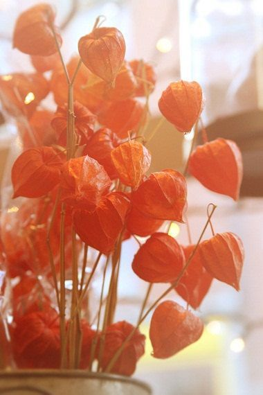 Officially known as 'physalis alkekengi,' Chinese lantern plants may look perfect for autumn photos due to their orange color, but they actually bloom during the winter and dry during the spring.