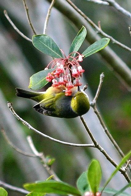 Pittosporum umbellatum and Waxeye  Pittosporum umbellatum,   haekaro.   Pittosporaceae  September
