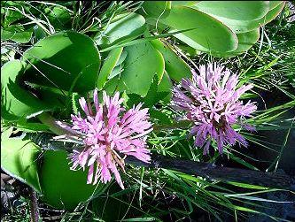 East Cape South Africa Haemanthus humilis Amaryllidaceae