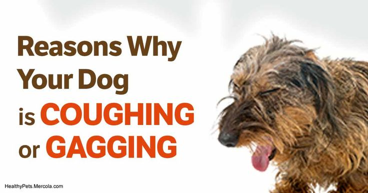 Small breed dogs are at risk of tracheal collapse, so if your pet is exhibiting symptoms such as frequent coughing and gagging, take him to a vet immediately. https://healthypets.mercola.com/sites/healthypets/archive/2012/05/21/tracheal-collapse-dog-treatment.aspx?utm_source=facebook.com&utm_medium=referral&utm_content=facebookpets_ranart&utm_campaign=20171012_tracheal-collapse-dog-treatment