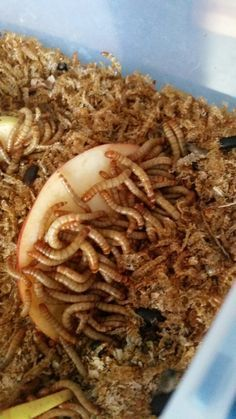 Raising meal worms for your herd of chickens is so easy everyone should do it! All it takes is a ten gallon tank or a small storage container, a few pounds of bulk wheat bran, 500+ meal worms, and...