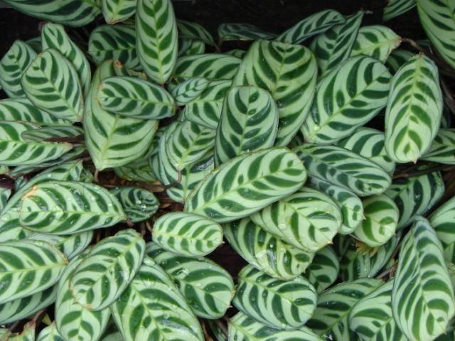 Best 25 prayer plant ideas on pinterest plants zz for Prayer palm plant