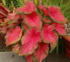 Resultado de imagen para como es el nombre cientifico de la paleta de pintor planta